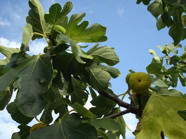 frutto-del-fico_NG1