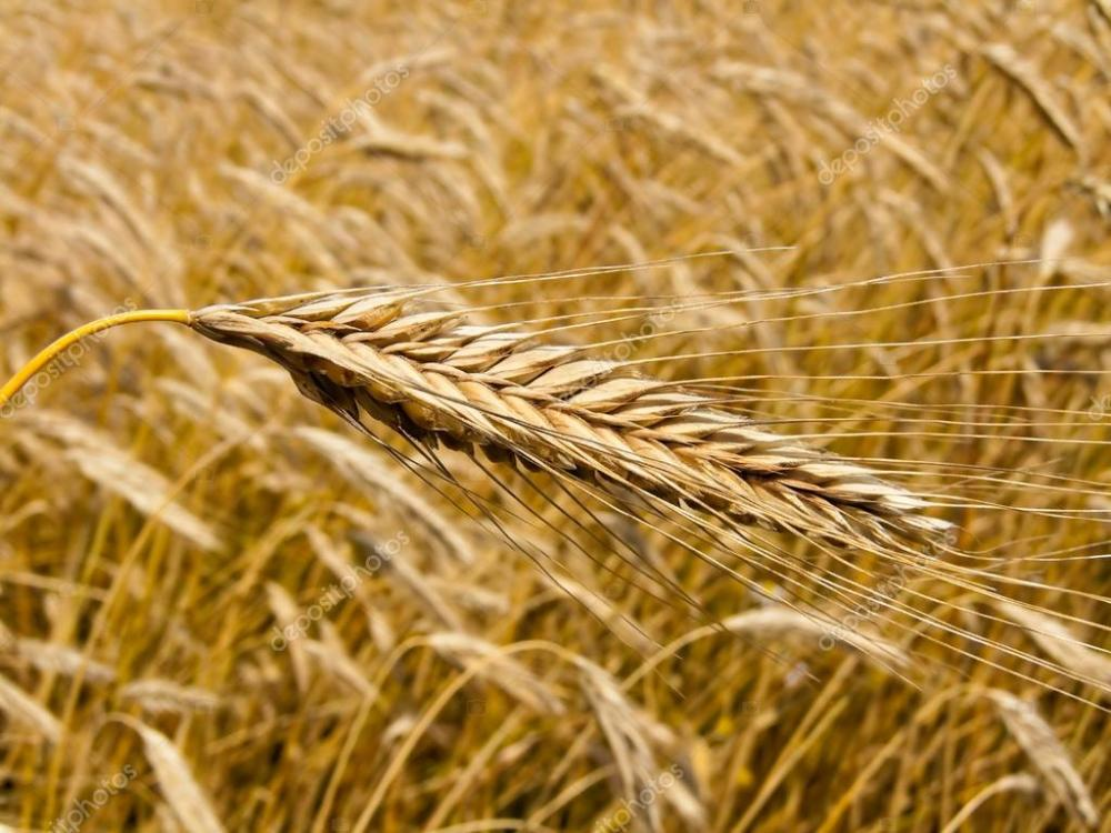depositphotos_8285145-stock-photo-wheatfield-with-barley-spike