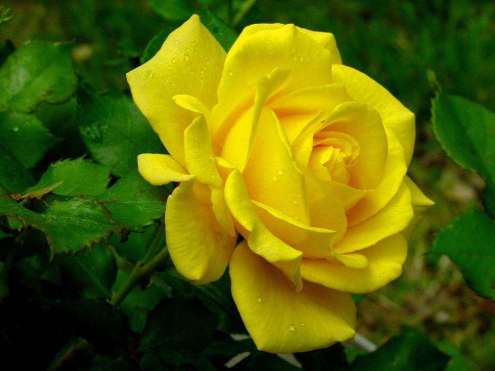 rosa-gialla-158344