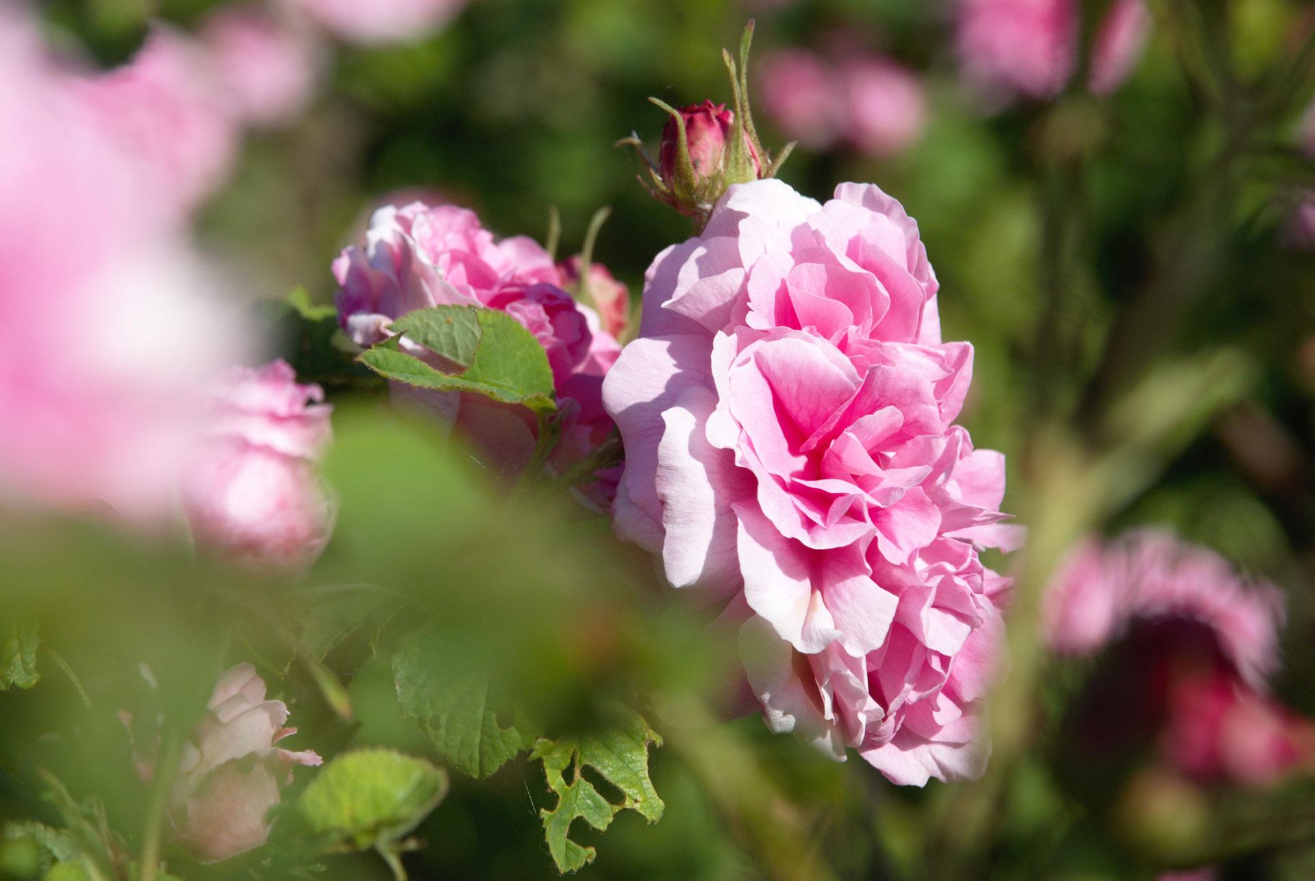 Rose Da Taglio Rifiorenti coltivare rose con il metodo biologico: scelta etica per