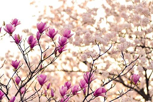magnolia-2218788__340