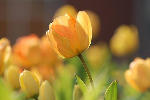 tulip-690320__340