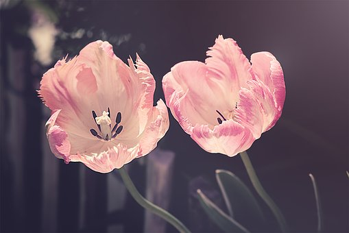 tulips-3339416__340